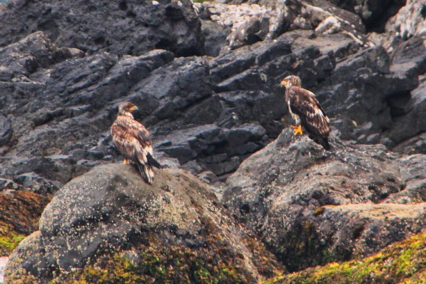 eagle juvenile.jpg