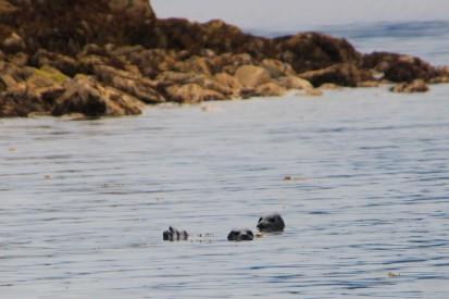 seals in water.jpg